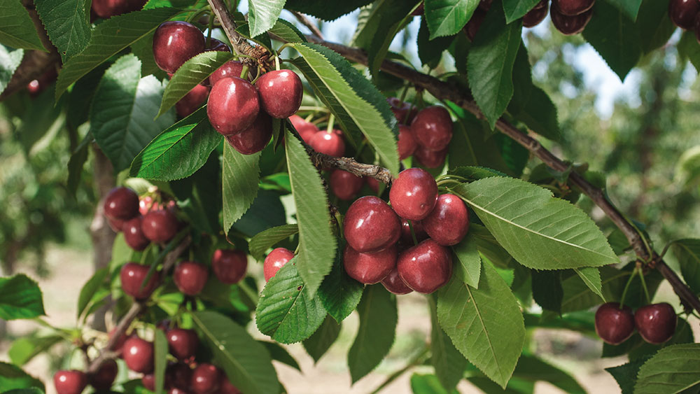 Cherry products ready to be harvested