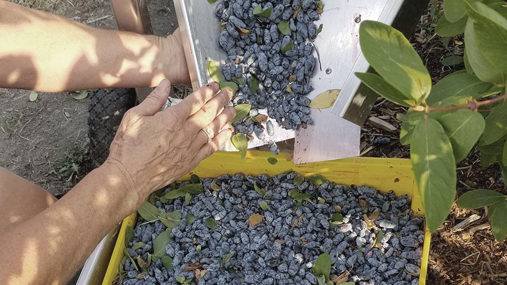 U-pick harvesting
